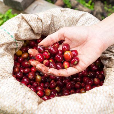 Cerises de café Allpampa, produits alimentaires biologiques et équitables, en vrac ou sachet, en provenance d'Amérique latine